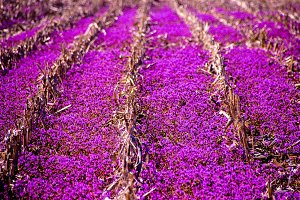 Sea of Purple Flowers on Farm