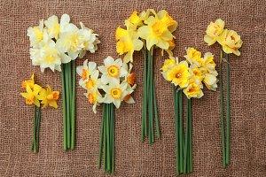 Different daffodil varieties