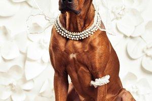Rhodesian Ridgeback dog dressed like a bride