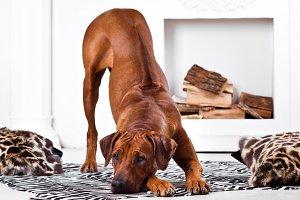 Rhodesian Ridgeback dog bending with its ridge revealed
