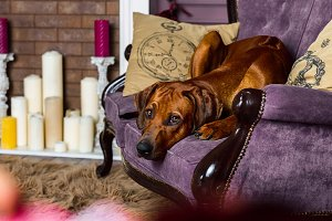 Rhodesian Ridgeback dog on a sofa in front of fireplace