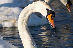 Swan's Killer Face