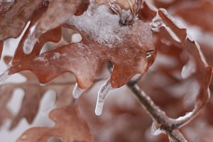 Frozen Fall Leaves