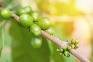Green coffee cherries beans.