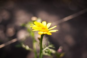 Yellow Flower on Blurry Dark Light