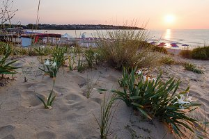 White Sand Lilies.