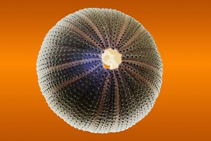 sea urchin skeleton isolated