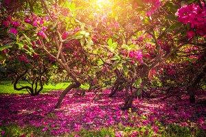 Magnolia trees.