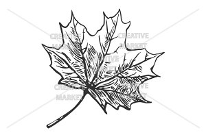 Maple leaf. Vector engraved