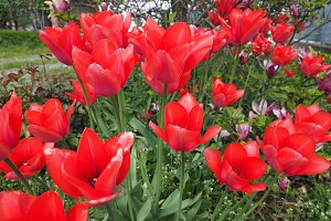 Red Tulips flower