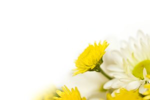 White background with chrysanthemums