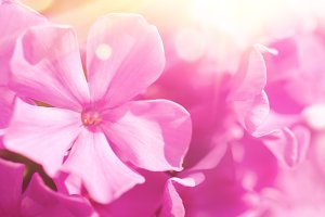 Phlox flower background