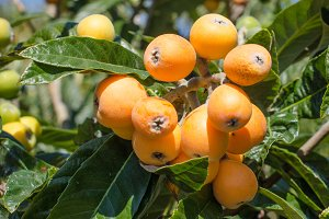 Bunch of ripe loquats.