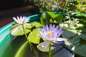 Lotus in full bloom in a pond.