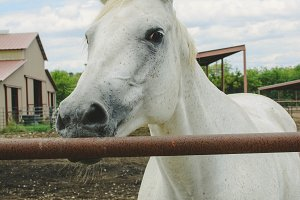 White Horse at stables