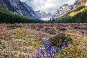 spring crocus in the mountains