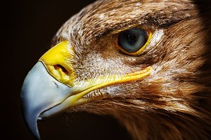 Golden eagle close up