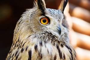 Staring owl close-up