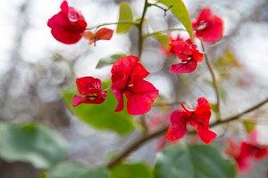 Red Flower Tree