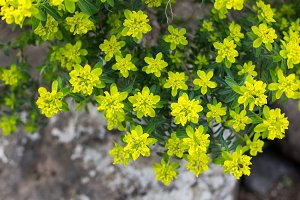 Green / Yellow Flowers Detail