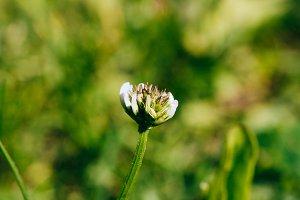 Clover flower closeup