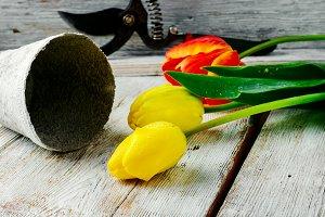 bouquet of cut tulips