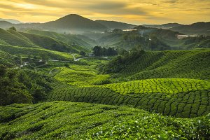 Sunrise at tea plantation