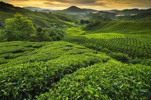 Sunrise at tea plantation