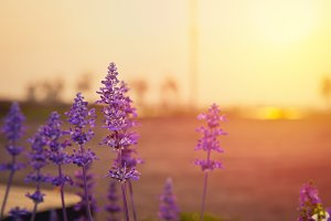 Lavender flower with sunset