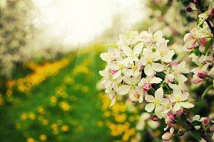 Blossom apples garden