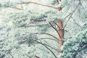 Snow-covered tree branch