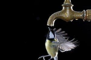 Bird drinking.