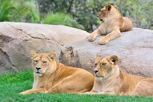 Lionesses.