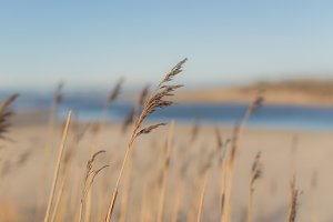 Reed Plants on the Beach in Summer