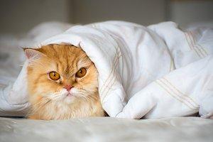 Persian cat under blanket