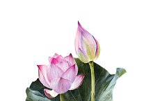 Watercolour lotus with leaves