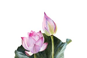 Watercolour lotus with leaves PNG