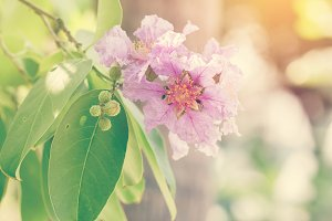 Cananga flower.