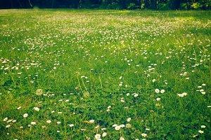 daisy on green grass