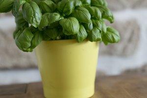 fresh tasty bio garden basil