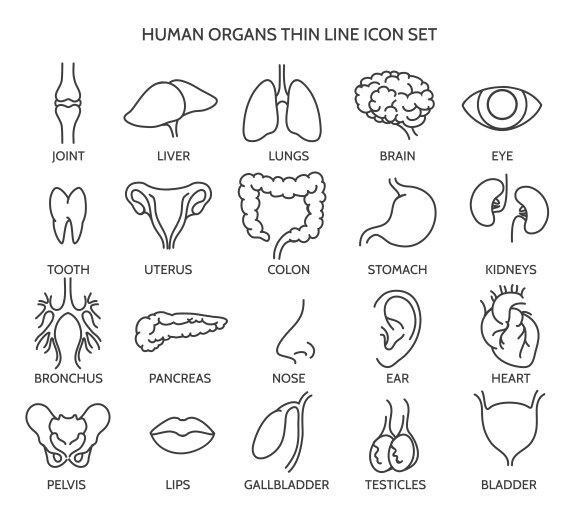 Human Organ Line Icons Graphics Creative Market