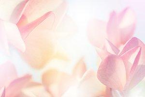 Plumeria flower with soft background