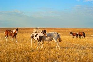 Steppe horses
