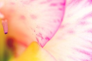 Gladiolus petals macro 3