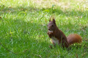 Young Eastern Fox squirrel in the garden