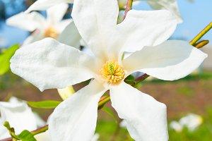 Blossom magnolia flower