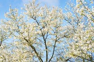 Beautiful blooming magnolia tree