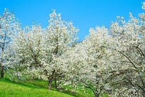 Spring blooming magnolias