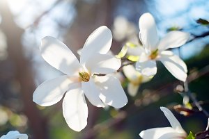 White magnolia flowers in sunshine
