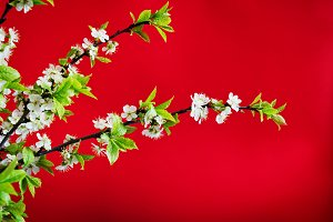 flowering cherry branch